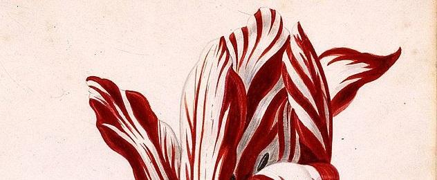 Die Tulpe war sehr schön, die Manie ist erfunden