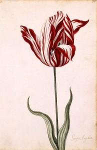 Tulpe Wikipedia